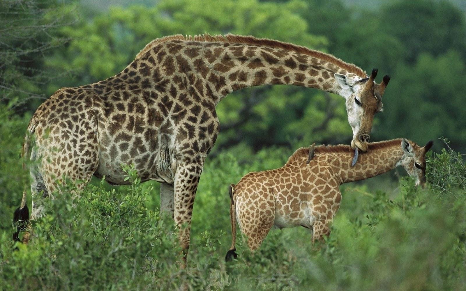 Giraffe   Wild Animal ...