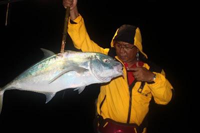 Terserang ikan golden trevally.