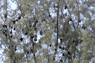 Bats in the belfry at Tekek, on Tioman Island Malaysia