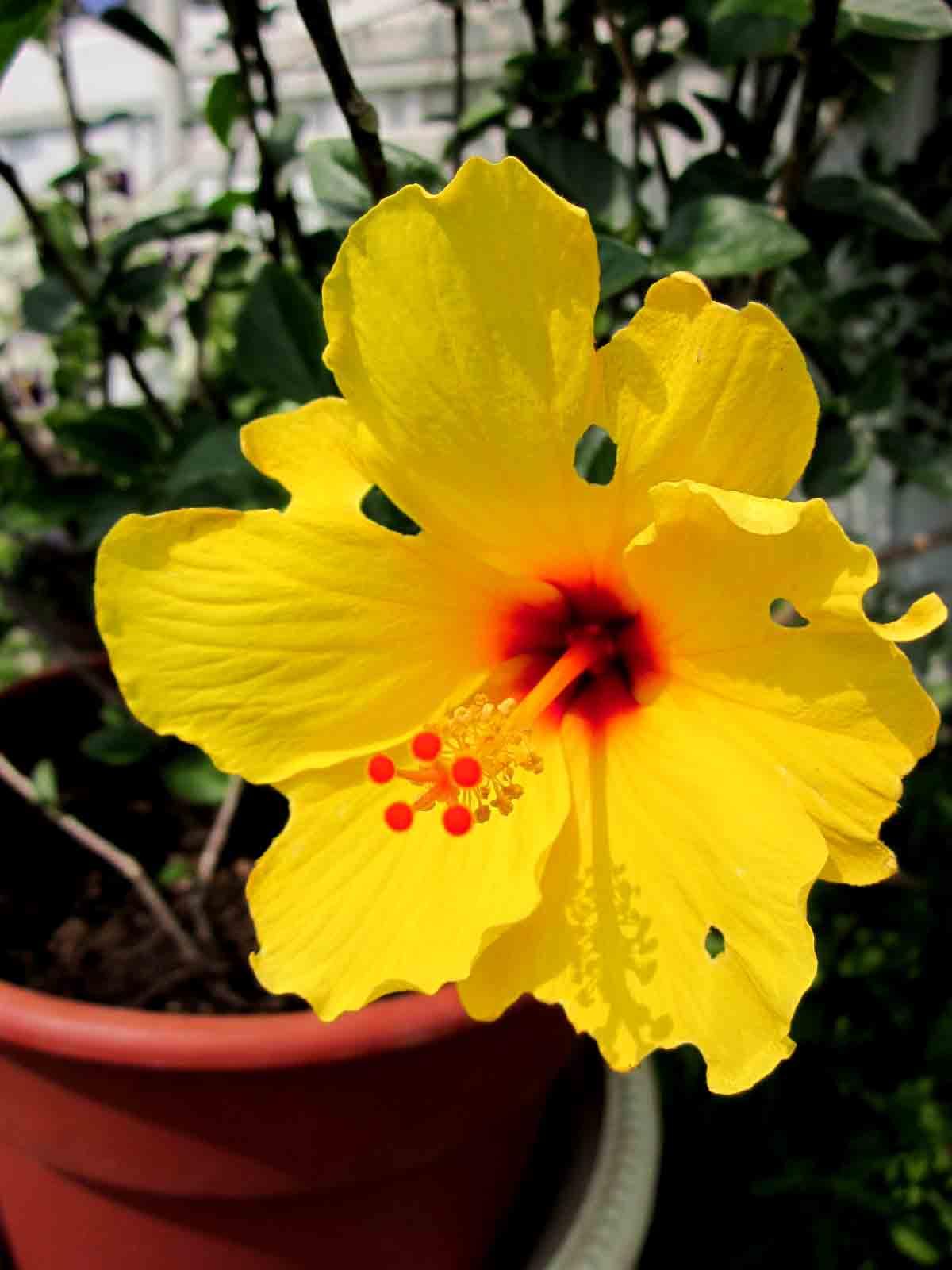Isis germination first hibiscus flower first hibiscus flower izmirmasajfo