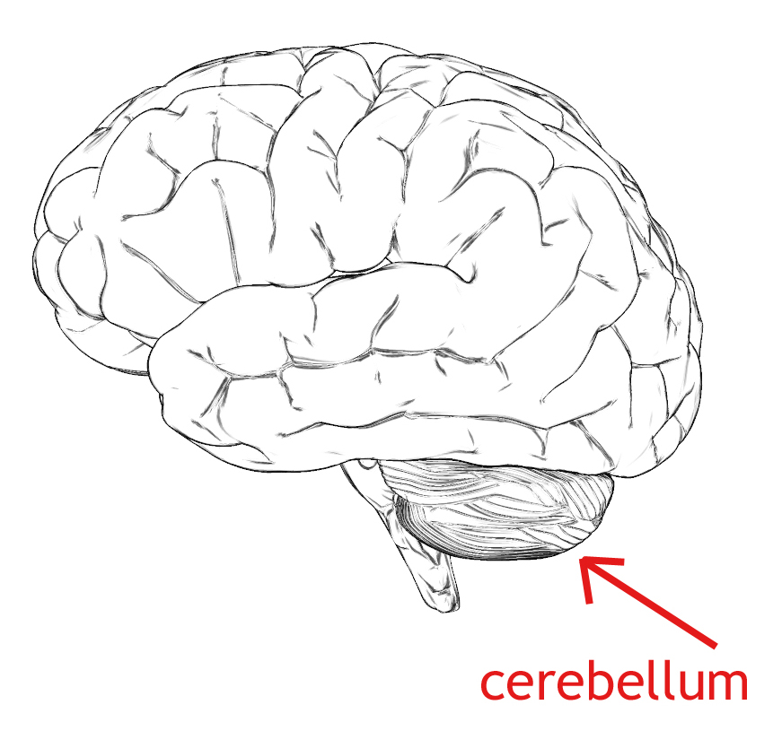 mind and cerebellum If someone opens the bottle i will be free to speak my mind and do whatever i please­  for neuroanatomy and cerebellar neurobiology at massachusetts general.