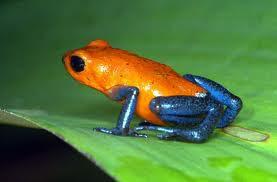 Poison Dark Frog