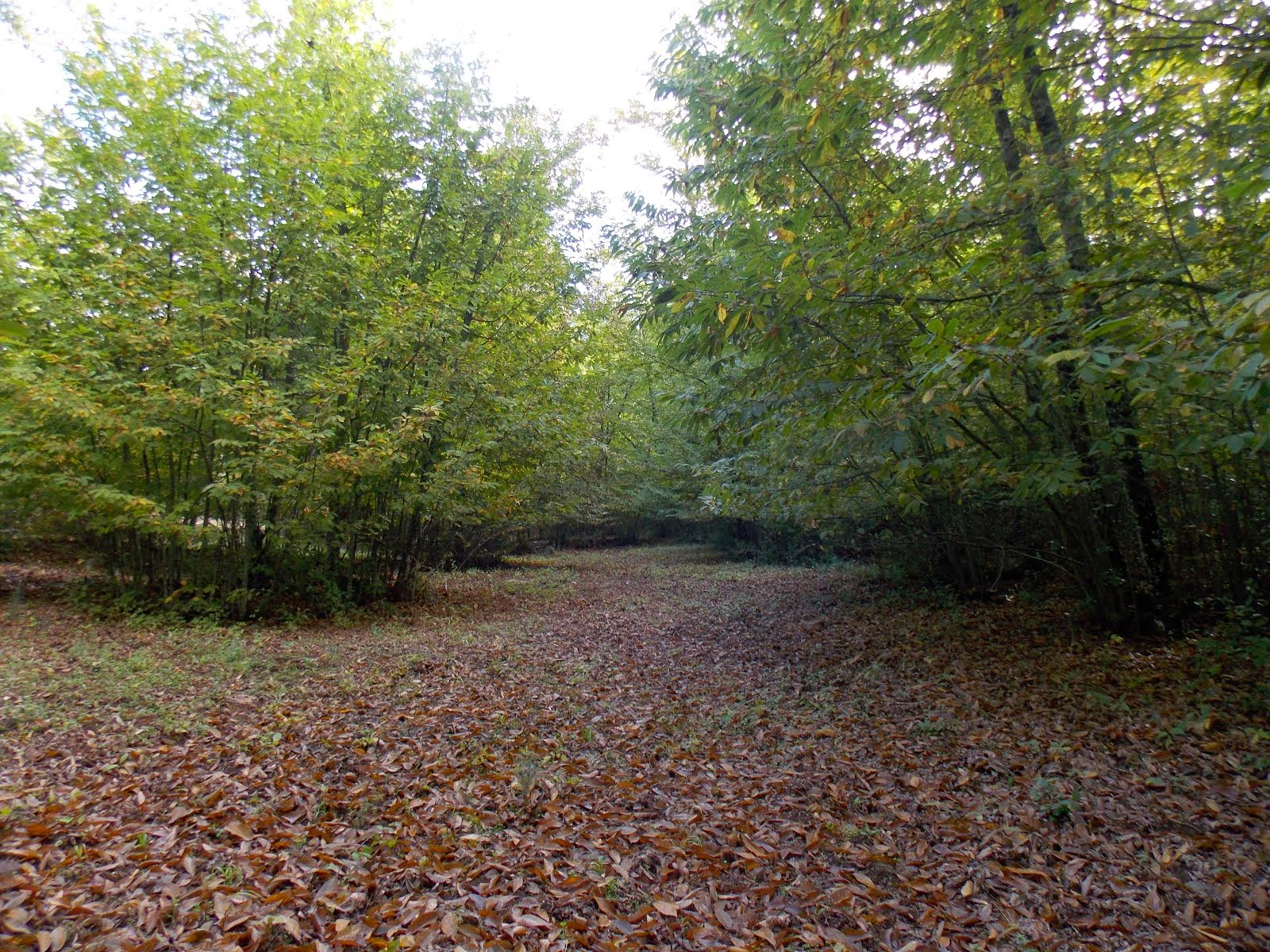 El otoño avanza en los castaños de Valdejetas