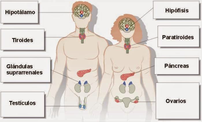Sistema Endocrino: Tipos de glándulas endocrinas