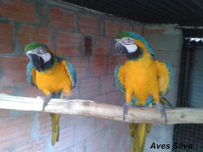 Casal de Araras Araraunas