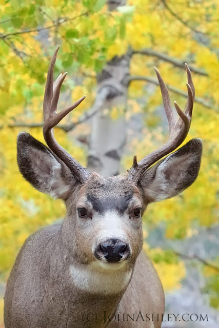 Mule deer buck (c) John Ashley