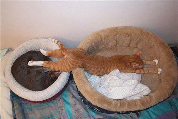 Gatos que han dominado el arte del  Dormir-Fu