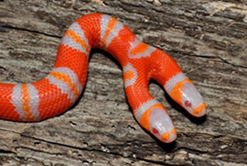 ular albino kepala dua