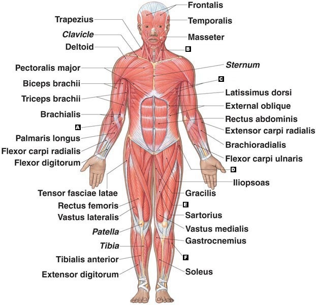 The Muscular System My Science Blog