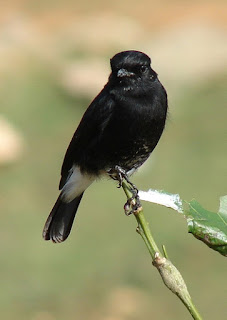 Burung Decu : Informasi Tentang Makanan Yang Dibutunhkan, Kelemahan dan Keunggulan Burung Decu