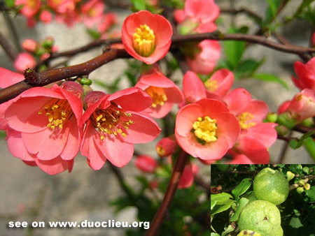 Chaenomeles fruit (Mugua)