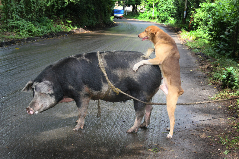 http://4.bp.blogspot.com/-3pMcaAXLrHU/UH8ECXfx9hI/AAAAAAAAAHY/Xk4N8wQ7nEU/s1600/cerdo-perro-cogiendo.jpg