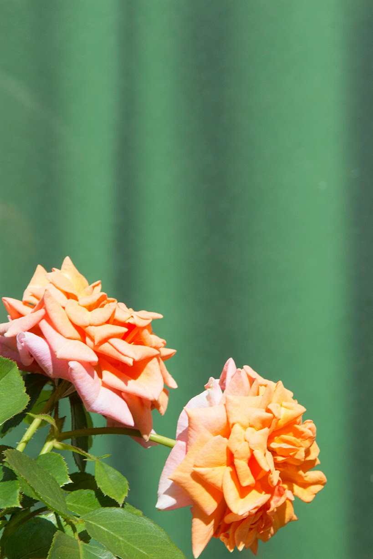 peach coloured roses against a green curtain