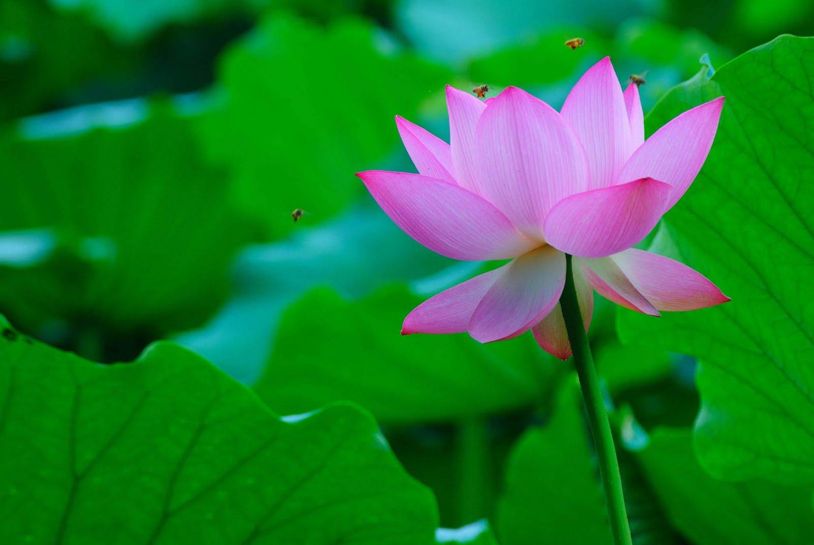 Agricultural Online Summer Lotus Flowers