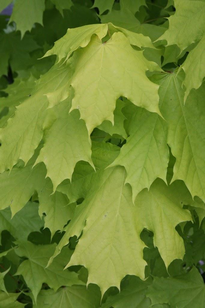 Flora wonder blog helter swelter - Arce platanoide ...