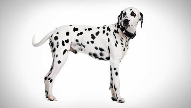 اسعار الكلاب 2019 لجميع الأنواع dalmation_01_l.jpg