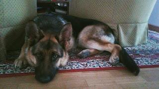 Χάθηκε στην περιοχή του Διονύσου λυκοσκυλάκι που ακούει στο όνομα Ρεξ. Είναι 15 μηνών και φοράει δερμάτινο καφέ λουράκι