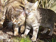 foto kucing pixie-bob