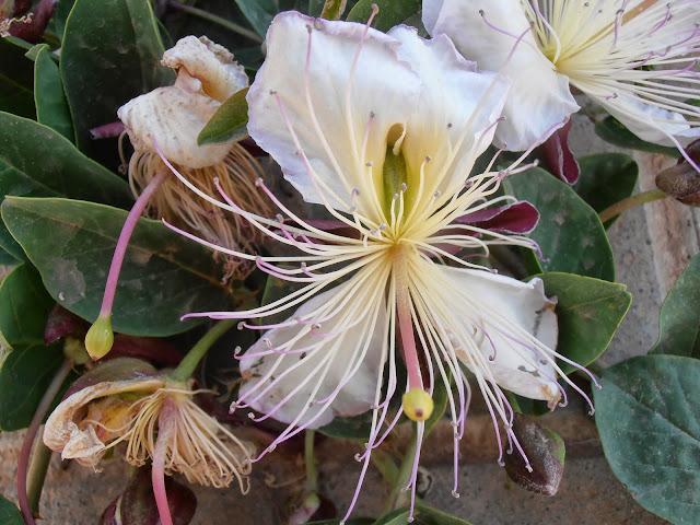 Flor de ALCAPARRA: Capparis spinosa