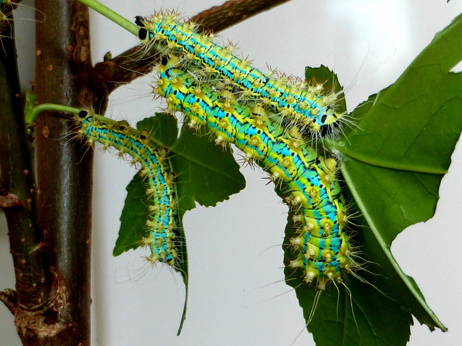 Saturnia pyretorum caterpillar L3