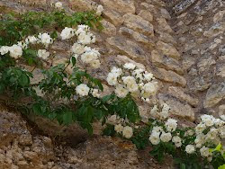 Les roses blanches du rosier Kiftgate
