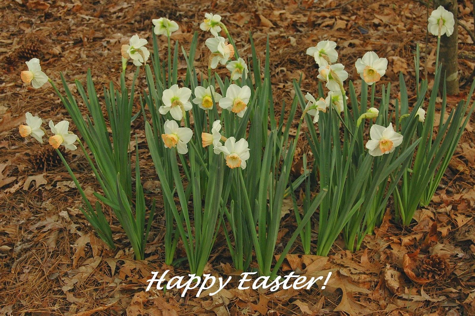 Happy Easter Daffodils