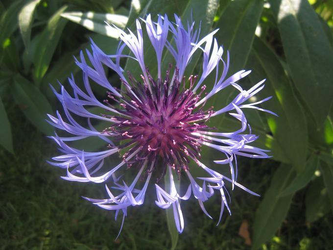 La Fleur du Dimanche: La Fleur Bleue côté Jardin