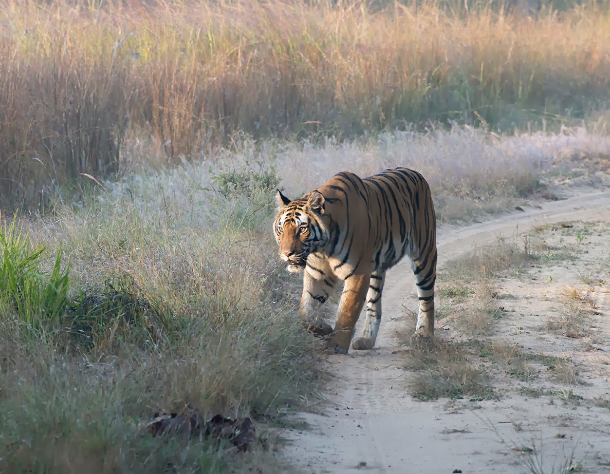 Tiger in Reserve