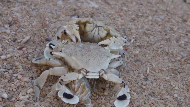 Dos Palmas crabs