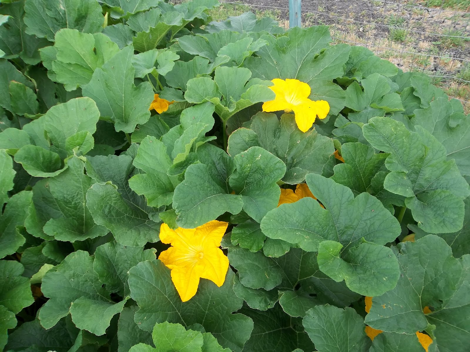 pumpkin growing greenhouse