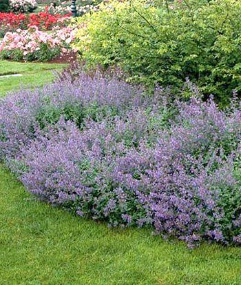 il piccolo giardino di l nepeta x faassenii non tutte le ciambelle riescono col buco. Black Bedroom Furniture Sets. Home Design Ideas