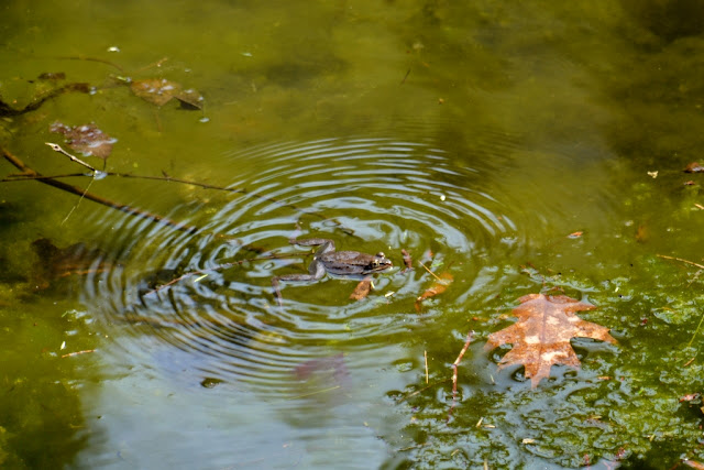 ripples around a quacking wood frog