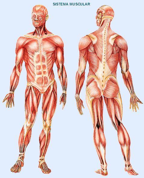Anatomía Macroscópica: Sistema muscular.