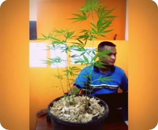 Badan Narkotika Nasional (BNN) Papua Temukan Pohon Ganja di Pos 7