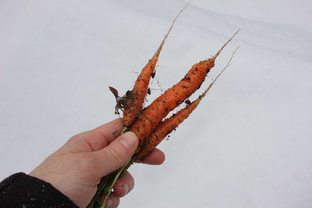 Winter harvested carrots