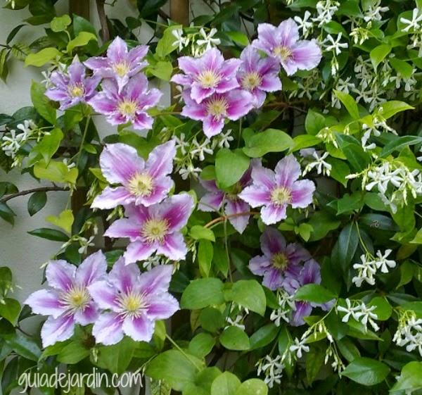 clematis y trachelospermum
