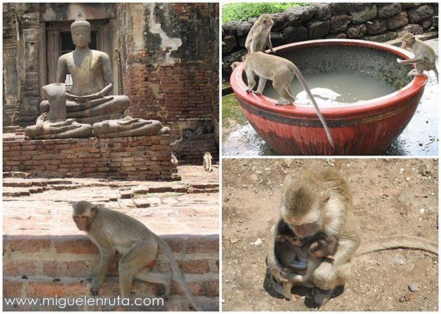 Macacos-Lopburi-monos