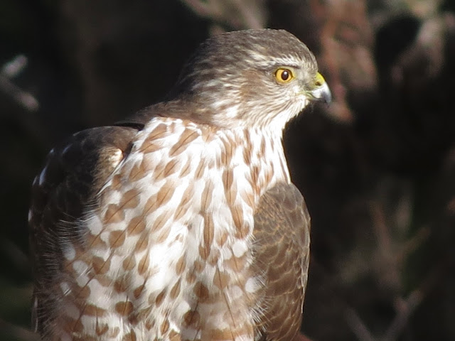 hawk looking around