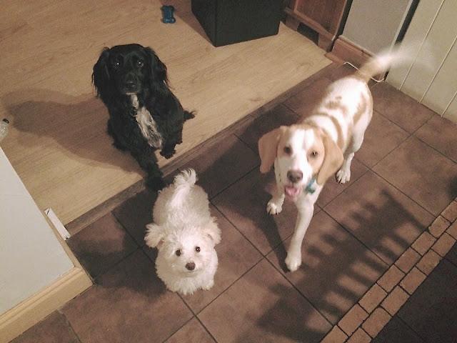 Beagle, Poochon, Spaniel