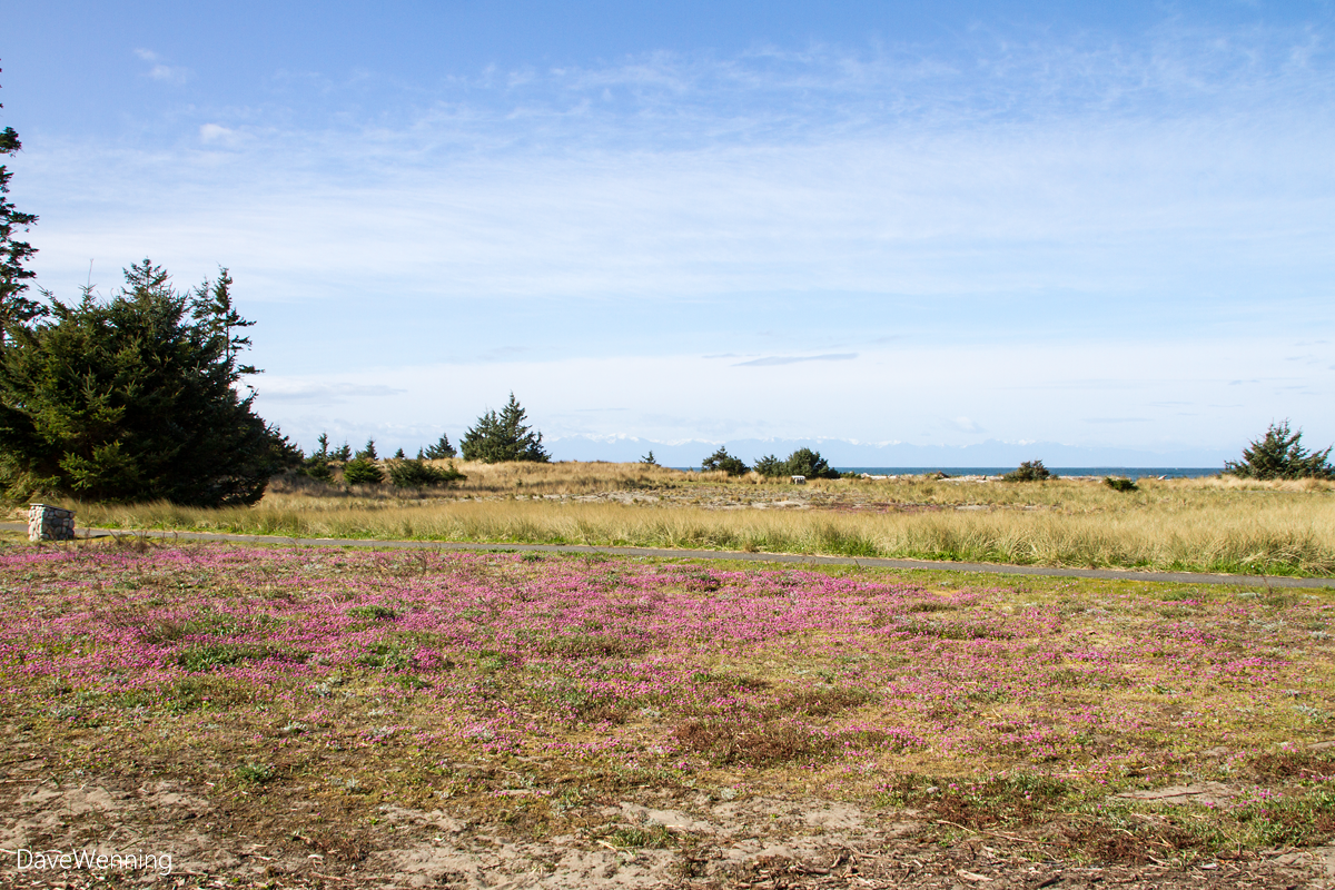 Sea Blush near the Sand Dune Trail, Deception Pass State Park