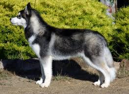 Giống chó Husky