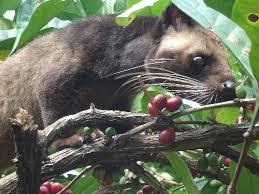 Kopi Luwak-jual kopi luwak asli indonesia,murah,manfaat kopi luwak,harga kopi luwak,proses pembuatan kopi