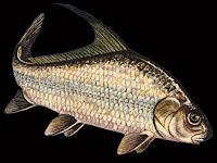 Quillback Fish Pictures