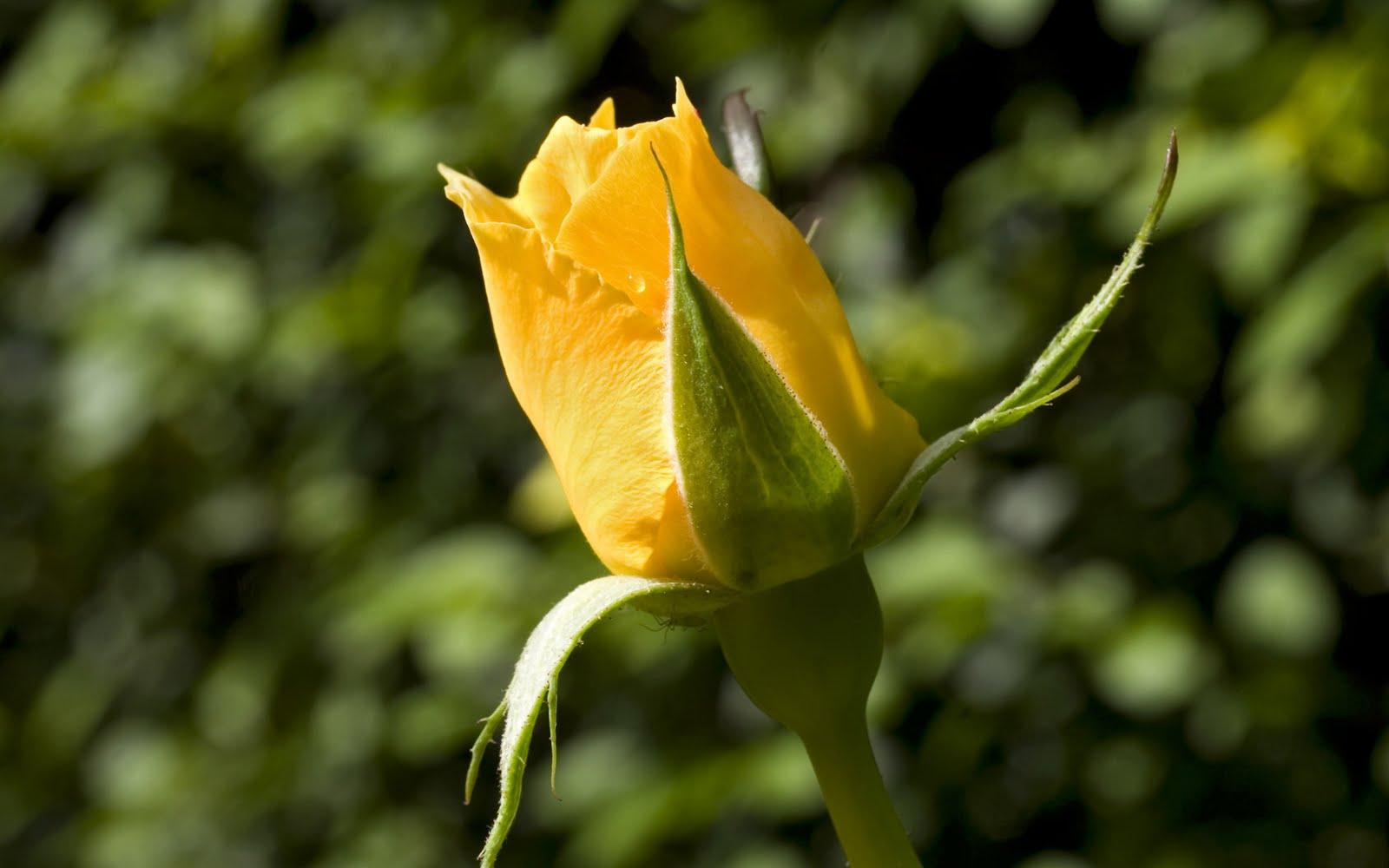 http://4.bp.blogspot.com/-3wAtYkD8070/Tg6e7xgYzfI/AAAAAAAABH4/EYKq9uBQZm8/s1600/yellow-rose-bud.jpg