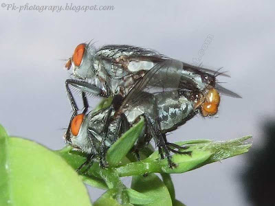 Grey Flesh Flies
