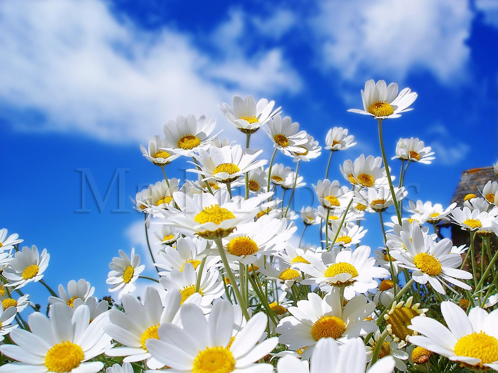 White flowers on the field and hitting the sky with its beauty, White flowers, Flower wallpaper