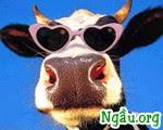 truyện cười người lớn: Chỉ tại bò đực