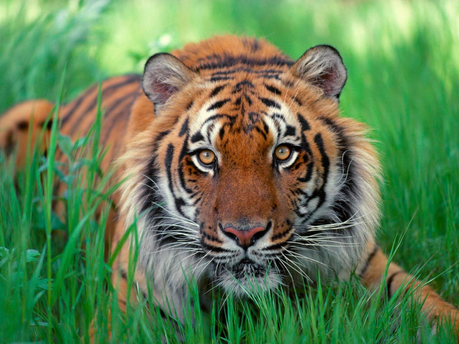 Tiger high resolution desktop wallpapers free download