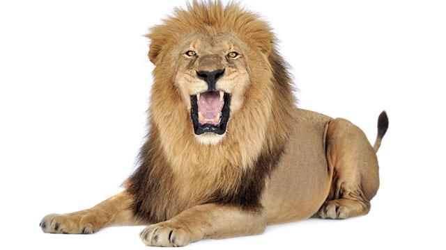 lion719 اجمل صور للأسد    Photos of the Lion