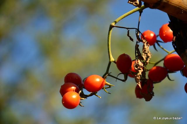 Toscane - cueillette de tomates cerises